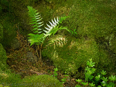 Sunlit in the forest (Nanooki) Tags: sunlight france fern green forest moss shadows may dell 2015 manzacdenbas