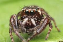 Another Eris Militaris View (Doundounba) Tags: macro spider montral pentax qubec jumpingspider araigne k3 extrememacro salticidae focusstack poormansmacro pentaxa50mmf17 salticide erismilitaris parcnaturedelledelavisitation pentaxm150mmf35 coupledreverselens