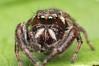 Another Eris Militaris View (Doundounba) Tags: macro spider montréal pentax québec jumpingspider araignée k3 extrememacro salticidae focusstack poormansmacro pentaxa50mmf17 salticide erismilitaris parcnaturedelîledelavisitation pentaxm150mmf35 coupledreverselens
