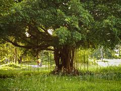 The Tree at the Museum (E.C.L.) Tags: thuriangbrennfen thailand sukhothai satchanalai siam sawankhalok thai baum tree arbre rbol rvore     geschichtspark unesco heritage site thalande   tailandia tailndia    si sisatchanalai    historicalpark unescoworldheritagesite totallythailand asia