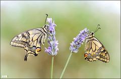Atardecer lluvioso (- JAM -) Tags: naturaleza flower macro nature insect nikon flor explore jam mariposas d800 insecto macrofotografia explored lepidopteros juanadradas