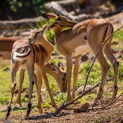 Black-Faced Impala @ Chobe National Park, Botswana (x_tan) Tags: africa northwest botswana kasane chobenationalpark blackfacedimpala aepycerosmelampuspetersi canoneos5dmarkiii canonextenderef14xiii canonef100400mmf4556lisiiusm