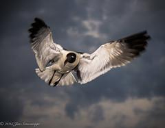 Nags Head 2015-17 (jkatpc) Tags: gulls d7200