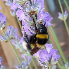 Photo of Bumblebee II.