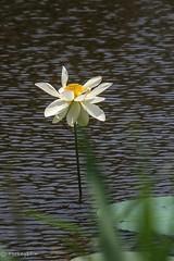 2015 Lotus #2 (Yorkey&Rin) Tags: summer japan lotus july olympus  kanagawa rin fujisawa kugenuma 2015   em5   pc236629 olympusm75300mmf4867ii