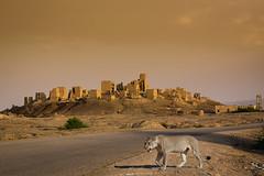 depredador (Kaobanga) Tags: lion yemen predator len lioness lle leona depredador ymen marib lleona iemen  kaobanga  alyaman  aljumhuriyahalyamaniyah alumhriyyahalyamaniyyah