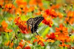 Asian Swallowtail (Yorkey&Rin) Tags: summer japan butterfly tokyo july olympus  rin hamarikyu hotday 2015  sulfurcosmos  em5   asianswallowtail  olympusm75300mmf4867ii pc236834
