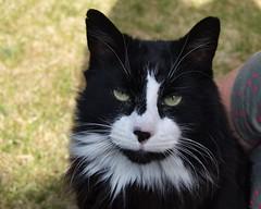 (Emilyjasmine) Tags: blackandwhite cat pretty relaxing archie sunbathing