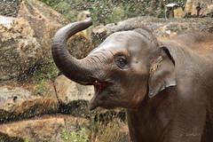 Nhi Linh (K.Verhulst) Tags: elephant rotterdam blijdorp elephants nl blijdorpzoo olifanten diergaardeblijdorp rotterdamzoo aziatischeolifant asiaticelephants aziatischeolifanten nhilinh
