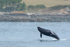 Granny (J2) (Hysazu) Tags: dolphins whales orca killerwhale wildwhales southernresidentkillerwhales islandadventures srkw islandexplorer3
