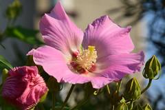 20150727_016_3 (まさちゃん) Tags: 花 雄蕊 ふよう 雄しべ 雌蕊 ピンクの花 雌しべ