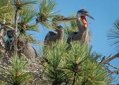 FishAgain (jmishefske) Tags: park county blue heron wisconsin mom three nikon nest great july chick milwaukee greenfield 2015 d800e