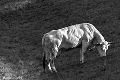 ombre (conteluigi66) Tags: mucca ombra ombre illuminazione sole erba prato salita contrasto monocromo biancoenero animale cortile erbivoro ruminante muscoli muscolatura luigiconte