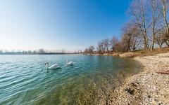 lake Zajarki (83) - swans (Vlado Ferenčić) Tags: animals animalplanet birds swans lakes lakezajarki zajarki zaprešić hrvatska croatia autumn nikond600 sigma1528fisheye fisheye
