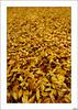Alfombra de otoño (V- strom) Tags: otoño hojas amarillo nikon nikon2470 nikon50mm alfombra naturaleza texturas luz paisajes