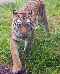 Indianapolis Zoo 08-08-2013 - Amur Tiger 13 (David441491) Tags: amurtiger tiger indianapoliszoo