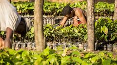Sin agua tamo frizao (Video) (PresidenciaRD) Tags: siembra plantas caficultor invernadero