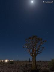 Quiver tree in moon light (dieLeuchtturms) Tags: karas 3x4 affodillgewächse africa afrika aloe aloedichotoma aloen asparagales asphodeloideae fishrivercanyon grasbaumgewächse khoekhoegowab köcherbaum mond mondlicht nacht namibia spargelartige sternenhimmel xanthorrhoeaceae kokerboom lunarlight moon moonlight night quivertree starsky starrysky ǁkaras karasregion