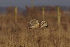 IMGP1252 Short-eared Owl, Burwell Fen, December 2016 (bobchappell55) Tags: shortearedowl raptor bird birdofprey burwell fen cambridgeshire naturereserve nationaltrust nature wildlife wild hunting flight asio flammeus