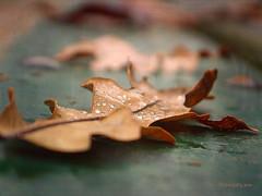 Last Autumn Leaf ... (MargoLuc) Tags: leaves bench droplets autumn colours focus brown green bokeh closeup fall season ending december