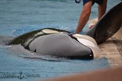 Cuddles time 01 (NamikaOrcas) Tags: kiska killerwhale orca black white orque épaulard marineland niagarafalls niagara ontario canada summer