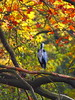Ardea cinerea Graureiher im Herbst 161103-0449 _Berlin_SOOCx1_ (Pixel-Cat) Tags: ardea graureiher herron vogel bird herbst autumn herbstlaub autumncolors autumnfoliage herbstfarben tiergarten berlin olympus omd em5 sooc mzuiko75300mmf4867ii
