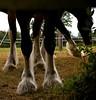 337-41L1 (Lozarithm) Tags: wilts poulshot horses shirehorses wadworth hooves k100d pentax zoom 1855 smcpda1855mmf3556al