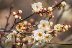 Early Plum Blossoms at Kitano Tenman-gū in Kyoto. (KyotoDreamTrips) Tags: baikasai kitanotenmangū kyoto plumblossoms shinto sugawaranomichizane ume 北野天満宮 梅花祭 菅原道真