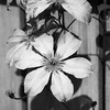 On the Fence D7C_0141 (iloleo) Tags: clematis garden bw flower nature nikon d750