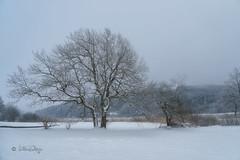 Grau / Gray (Claudia Bacher Photography) Tags: nebel fog winter baum tree schnee snow schweiz suisse switzerland sonya7r natur nature outdoor