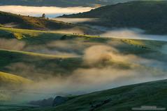 Verde Valley (michael ryan photography) Tags: marin marincounty california bayarea fog cows mist light sunrise softlight dappled layers telephoto michaelryanphotography