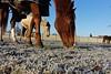 dtexp_2016-12-31_10-46-02_7729 (thomaslefloch) Tags: france fra feelinglifedupeps hérouvillette lesécuriesdhérouvillette portosderevel champ cheval givre herbe hiver portrait poulain