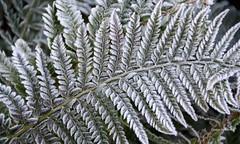 13-IMG_7614 (hemingwayfoto) Tags: botanischergarten farn gelappterschildfarn münsterwestf pflanze polystichumaculateum raureif westfalen