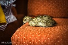 Faisán (Tebo78) Tags: faisan ave pajaro bird pheasant santiago chile