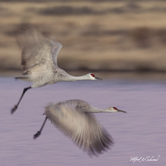 Sandhill Cranes Fly By_20A8236 (Alfred J. Lockwood Photography) Tags: alfredjlockwood nature wildlife bird flight blur sandhillcrane crane autumn morning bosquedelapachewildliferefuge bosque water pond