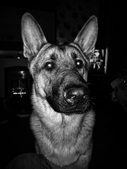Milo (theGR0WLER) Tags: alsatian germanshepherd dog blackandwhite monochrome ear eye nose fur head portrait animal pet
