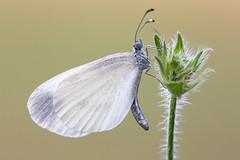 Schmalflügel-Weißling │ Wood white │Leptidea sinapis - juvernica (Bluesfreak) Tags: insekten schmetterlinge tagfalter schmalflügelweisling woodwhite leptideasinapisjuvernica lepidoptera unterfranken spessart butterflies