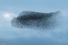 Starling eclipse II (Dom Greves) Tags: behaviour bird dorset flock murmuration pooleharbour starling studland uk