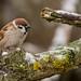 Tree Sparrow (dunderdan77) Tags: fågel nikon tamron djur wildlife sparrow nature sweden natur