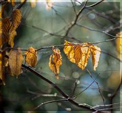 Bokeh (PhotoChampions) Tags: bokeh herbst autumn garten garden light licht zweige blätter leafs sigma 85mm sigmaart
