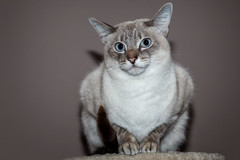 Rosi - Siamese Cat (ulibrox) Tags: 5dii haustier katze canon siam cat tier siamesecat ef85mmf18 tiere rosie indoor