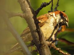 Gorrión enramado 2 (Pablo Moreno V) Tags: gorrion passerdomesticus sparrow bird ave chile canon
