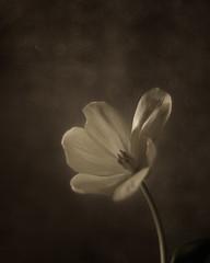 Bailarina III (saparmo) Tags: tulip spring flower textures bokeh tulipan primavera flor virado