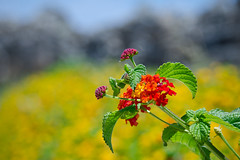 A flowering plant type of thing (Mr:Mac) Tags: red flower nature yellow nikon bokeh 18200mm bokehlicious d7000
