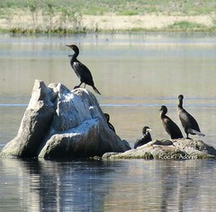 Double-crested Cormorant Prescott 6.14.15 (Rocki Adams) Tags: arizona bird nature water birds outdoor birding waterbird cormorant birdwatching birder prescott doublecrested willowlake birdnerds