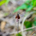 Red-mantled Dragonlet (Erythrodiplax fervida), male