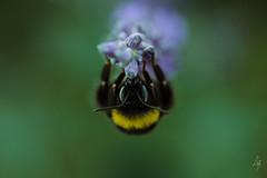 Apoidea (La Bergougnoux) Tags: nature campagne insecte sauvage bourdon