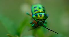 Jewel Bug (sheikghafoor) Tags: macro closeup bug metallic jewel scutelleridae