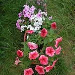 Frenzy Red Vein Petunia Multiflora (Red), Dezire White Impatiens (White), Dezire Lavender Impatiens (Pink) and Easter Bonnet Deep Pink Alyssum (Purple) thumbnail