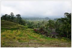 Jatiluwih Rice Terrace Bali (vazyvite) Tags: bali rice terrace terrasse riz jatiluwih rizire rizire